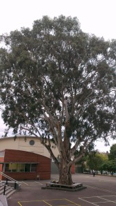 Great grandmother gum tree