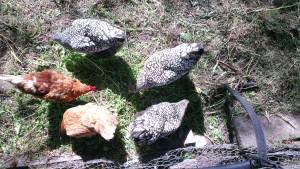 Gratuitous chicken picture