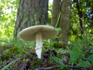 Mushroom in a forest
