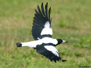 Australian magpie in flight.