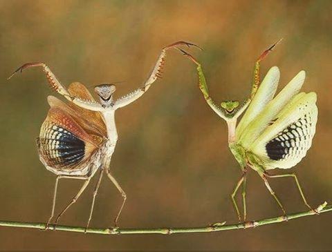 ▼ Lesbian Mantis (Sphodromantis Viridis Lesbuerelius) balance dance ▼ #lesbian #animal #lgbt #lgbtq #lgbtqi #lesbianculture #lesbianfun #animals #animalsco #animalsofinstagram #animallover #animales #lesbians #mantis